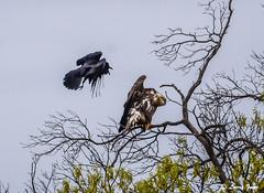 EAGLE & RAVEN (imeshome) Tags: raven eagle bald young wildwood lake towpath nature black fly attack