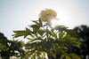 L1018902c (haru__q) Tags: leica m8 leicam8 minolta rokkor peony flower 牡丹 ボタン