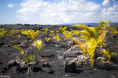 Plants in a newly formed beach (xubean) Tags: hawaii hawaiiisland photography nepaliphotographer nepali