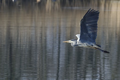 heron (Winter Fotographie (1 Mio. THX)) Tags: ngg ng