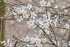 Spring Blossom (SLHPhotography1990) Tags: spring blossom tree nature natural isleofwight