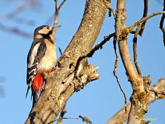 Pico picapinos (Dendrocopos major) (12) (eb3alfmiguel) Tags: aves pájaros carpintero piciformes picidae pico picapinos dendrocopos major
