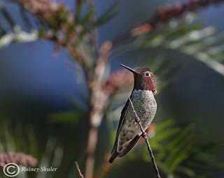 Anna's Hummingibrd