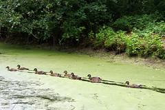 DSC00820 (imanh) Tags: eend sloot imanh iman heijboer duck ditch