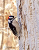 Downy Woodpecker male (Picoides pubescens) -05 (keithricflick) Tags: fave okanagan