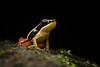 Silverstoneia nubicola - Boquete Rocket Frog (J. Sebastian Moreno) Tags: silverstoneianubicola silverstoneia frog frogs dendrobatidae boqueterocketfrog valle del cauca colombia herpetos herping herps amphibians anfibios