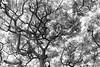 Suffocate My Love (_city_of_broken_dreams_) Tags: nikon nikond750 d750 kihei maui hawaii monochromatic monochrome bw noir blackandwhite noiretblanc minimal silhouette nature tree