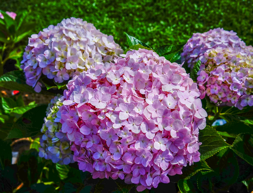 The Worlds Best Photos Of Color And Hortensia Flickr Hive Mind - Color-hortensia
