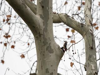 European green woodpecker / Zöld küllő