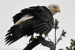 2018-02-04 Bald Eagle (1024x680) (-jon) Tags: anacortes skagitcounty skagit washingtonstate washington pnw pacificnorthwest northwest salishsea pugetsound marchpoint padillabay fidalgobay haliaeetusleucocephalus baldeagle eagle bird raptor birdofprey a266122photographyproduction
