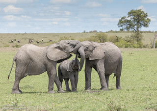 African Elephant family - Loxodanta