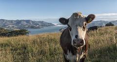 moooo (David Feuerhelm) Tags: cow nikkor bankspeninsular akaroa wideangle newzealand nikon d750 nature nikkor2470mmf28 colorefex
