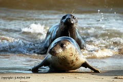 Catch Me! (Holfo) Tags: norfolk seals seal pup mother play uk england nikon d750 animal water wild wildlife nature