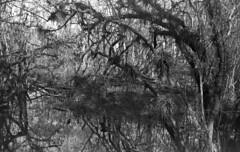 Kirby Storter Park (dungan.robert) Tags: blackandwhite film 120 asa100aristaedufomapan caffenolcmrs florida mediumformat 6x9 voigtlanderbessarangefinder120 bigcypressnationalpreserve kirbystorterroadsidepark copyrightrobertedungan2018 swamp
