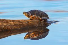 Basking in the Sun (Ania Tuzel Photography) Tags: eastern painted turtle wildlife aniatuzel© lake