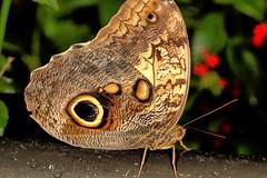Doesn't Give a Hoot (Darts5) Tags: owlbutterfly owl bug bugs butterfly butterflies butterflyeye butterflyeyes ef100l 7d2 7dmarkll 7dmarkii 7d2canon closeup canon7d2 canon7dmarkll canon7dmarkii canon canonef100l macro macros upclose