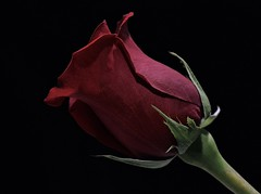 A Rose (ACEZandEIGHTZ) Tags: nikon d3200 rose red flower valentinesday blackbackground petals coth vividstriking coth5