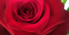 Valentine (Mitchell Edwards) Tags: flowers red rose valentine samsung gimp natural light nature