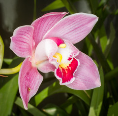 Pink Orchid (tresed47) Tags: 2018 201802feb 20180208longwoodflowers canon7d chestercounty content february flowers folder longwoodgardens pennsylvania peterscamera petersphotos places season takenby us winter