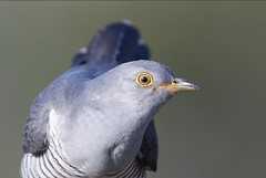 Cuckoo in Explore 21-02-18 (Thomas Winstone) Tags: wildlife wild spring canon1dx2 canon nationalgeographic birds aves avian 3lt thomaswinstonephotography bird cuckoo llanellen wales unitedkingdom gb 3leggedthing bbc springwatch bbcspringwatch canonuk 300mm28mk2 uk forest forestry nature outdoor wildbirds countryside