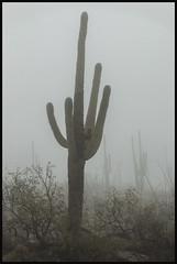 Coronado National Forest #6 2018; Saguaro in the Clouds (hamsiksa) Tags: fog mists clouds mountains weather rain rainfog santacatalinamountains catalinahighway generalhitchcockhighway coronadonationalforest arizona tucson desert sonorandesert plants flora vegetation xerophytes succulents cacti cactus saguaros cactaceae carnegieagigantea