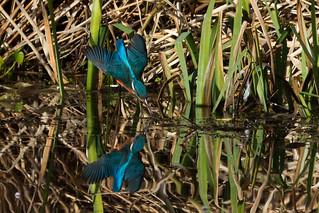 Kingfisher inward dive