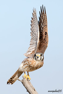 female kestrel take-off