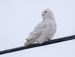 Snowy Owl on a wire