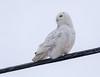 Snowy Owl on a wire (NicoleW0000) Tags: owl snowyowl wildlife bird birdofprey