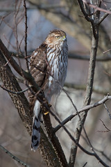 Cooper's Hawk (Jesse_in_CT) Tags: coopershawk nikon200500mm