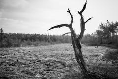 toter Baum (.rog3r1) Tags: leicasl baum schwarz weis