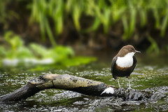 Dipper (Cinclus Cinclus) (Mark Photography 2017) Tags: angle background birding birdwatching blurred body composition crafts creek earth environmental exterior feature floor focus format formation frame framing freeze front genre geological hobbies horizontal humanbeing interests land landscape level lifestyle light lighting marine motion natural nature orientation outdoor photo photography plant river setting stream style sun swimming vegetation view water