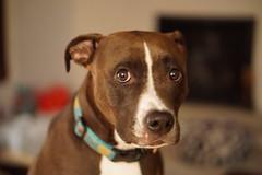 puppy eyes (kmetz12.km) Tags: dogs pitbull sony a6000 portrait headshot