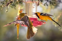 Squabbling Feathers! (jarrardphotography) Tags: birdlover 200500mm nikon feathers wildbird nature sugarwater fight fighting hummingbirdfeeder nikkor birdfight oriole squabbling