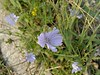 2017-09-12-11066 (vale 83) Tags: chicory nokia n8 coloursplosion colourartaward friends