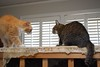 face off between Jimmy and Cricket (rootcrop54) Tags: jimmy orange male tabby cat cricket cats multiple boxsprings playing drama neko macska kedi 猫 kočka kissa γάτα köttur kucing gatto 고양이 kaķis katė katt katze katzen kot кошка mačka gatos maček kitteh chat ネコ