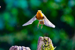 up up and away (Paul Wrights Reserved) Tags: robin bird birding birds birdphotography birdwatching birdinflight bokeh colour colours colourful