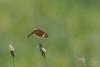Meadow Argus (VS Images) Tags: butterfly butterflies butterfliesinflight insects insect insectsinflight insecta australia nsw nature ngc naturephotography wildlife wildlifephotography wings vsimages vassmilevski olympus olympusau getolympus m43 meadowargus junoniavillida
