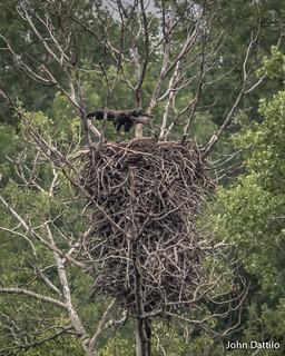 Eaglets prepare for flight