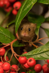 harvest mouse (colin 1957) Tags: harvestmouse mouse 1001nights berries