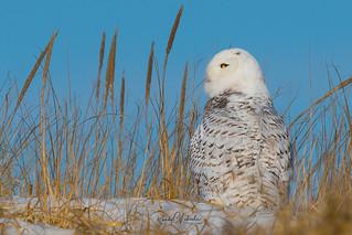 Snowy Owls of New Jersey | 2017 - 31