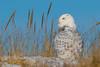 Snowy Owls of New Jersey | 2017 - 31 (RGL_Photography) Tags: birding birds birdsofprey birdwatching buboscandiacus gardenstate ibsp islandbeachstatepark jerseyshore mothernature nature newjersey nikonafs600mmf4gedvr nikond500 ornithology owls raptors snowyowl us unitedstates wildlife wildlifephotography projectsnowstorm