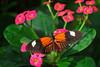 Key West (Florida) Trip 2017 0062Ri 4x6 (edgarandron - Busy!) Tags: florida keys floridakeys keywest butterflyhouse keywestbutterflyandnaatureconservatory