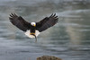 Bald Eagle 20180117_8542 (GORGEous nature) Tags: americanshad baldeagle columbiariver eagles ecology haliaeetusleucocephalus oregon raptors substrate thedallesdam vertebrates wascoco bird crgnsa fish flying predator prey rock scenic water winter