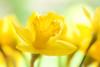 Daffodil (paulapics2) Tags: daffodil closeup bokeh depthoffield yellow plant january flora floral nature cheerful bright canoneos5dmarkiii sigma105mmf28exdgoshsmmacro petals ruffles curling mellowyellow narcissus spring 7dwf