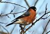 Bullfinch. (stonefaction) Tags: birds nature wildlife scotland angus bullfinch forfar loch