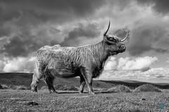 A Beast of Beauty 2 (pm69photography.uk) Tags: highlandcattle cattle dartmoor devon southwest sony sonya7rii spooky beast beautiful fuji fujinon fujifilm xt2 16mmf14 fujinon16mmf14 bw blackandwhite moody monochrome moor moors niksilverfx niksilvereffex horns cow clouds hdr
