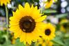 Sun snack (cheezepleaze) Tags: sunflower bees bokeh summer yellow nature cliche flower