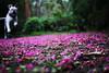 Thrilled Pink (Frustrated; painful slow to upload!) Tags: ddogchal boxer dog crepe myrtle flower carpet