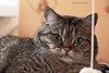 KENT (aika217) Tags: usm is f3556 efs18135mm 77d eos canon portrait cat pet tabby whiskers eyes